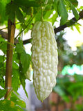 Bitter Melon in farm Royalty Free Stock Images
