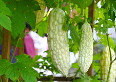 Bitter Melon in farm Stock Images