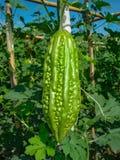 Bitter melon Stock Photography