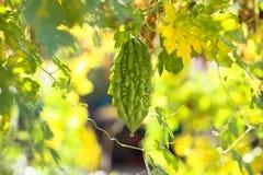 Bitter melon Stock Images