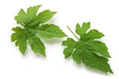 Bitter Melon Leaf Stock Image