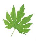 Bitter melon leaf Stock Images