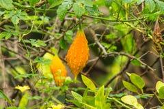 Bitter melon (Momordica charantia L.) in Ripe fruit stat on vege stock photos