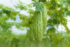 Bitter melon Stock Image