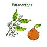 Bitter orange Stock Image