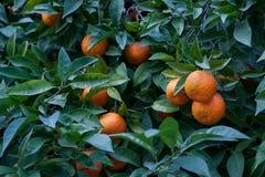 Bitter orange tree Citrus aurantium Stock Photo