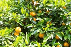 Bitter orange tree Stock Images