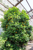 Bitter orange tree Royalty Free Stock Photo