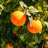 Bitter oranges growing on tree Stock Photography