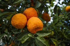 Bitter Oranges in a Tree royalty free stock photos