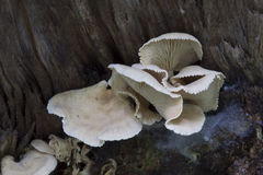 Bitter Oyster Mushroom Royalty Free Stock Photo