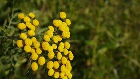Bittere gouden knopen van gele de bloemstruik van Tanacetum vulgare op de windhd lengte - eeuwigdurende kruidachtig van Tansy stock footage
