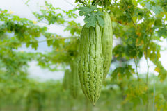 Bittere meloen stock afbeelding