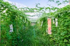 Bittere Melone im Bauernhof Lizenzfreies Stockfoto