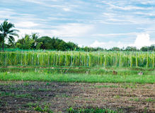 Bitterer Kürbis, bittere Melone, chinesischer Kürbis, kultivieren im Bauernhof Lizenzfreies Stockfoto