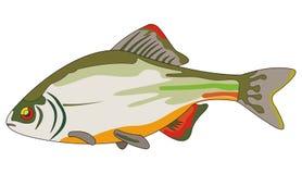 bitterling fisk Royaltyfria Bilder