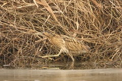 Bittern. As a proof of the perfect camouflage of this bird Royalty Free Stock Photo
