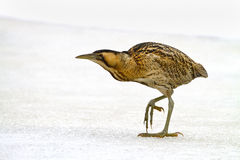 Bittern Royalty Free Stock Images