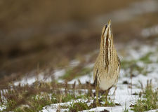 Bittern Stock Photography