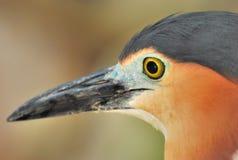 Bittern. A closeup photo taken on a bittern bird at a park Royalty Free Stock Images