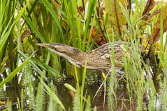 Bittern (Botaurus Stellaris) in the undergrowth royalty free stock image