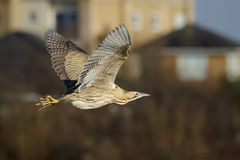 Bittern. A Bittern doing a fly past on an urban background royalty free stock image