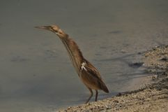 Bittern In Thailand Royalty Free Stock Images