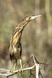 bittern ixobrychus λίγο minutus Στοκ Εικόνες