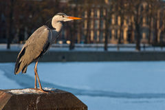 Bittern in winter. The Hague. Netherlands Royalty Free Stock Images