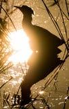 Bittern (Botaurus stellaris) silhouetted amongst reeds Royalty Free Stock Photo