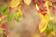 Bittersweet berries background. Close-up of Bittersweet berries, abstract autumn background, selective focus, shallow DOF royalty free stock photos