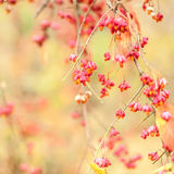 Bittersweet berries background. Close-up of Bittersweet berries, abstract autumn background, selective focus, shallow DOF. Square composition stock photos