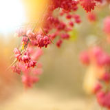 Bittersweet berries background. Close-up of Bittersweet berries with sunflare, abstract autumn background, selective focus, shallow DOF. Square composition stock photography