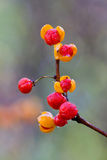 Bittersweet berries explode open. Oriental bittersweet explodes open at autumn. colorful yellow and red berries covered in morning dew on a out of focus stock photography