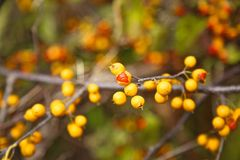 Bittersweet. Invasive wild American bittersweet growing yellow orange berries royalty free stock photo