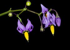 Bittersweet Nightshade. Blossom against a black background stock image