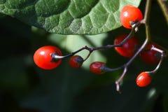 Bittersweet Nightshade Solanum dulcamara Berries. Closeup Detail stock photography
