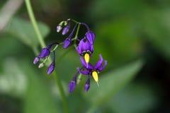Bittersweet nightshade (Solanum dulcamara). Flowers of a bittersweet nightshade (Solanum dulcamara royalty free stock photography