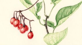 Bittersweet Solanum dulcamara branch with fruits. Watercolor on yellowish cardboard royalty free illustration