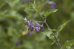 Bittersweet. Solanum dulcamara,flower and stem stock photography