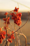 Bittersweet. Vine with orange berries royalty free stock images