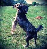 bitting她的朋友的耳朵的狗 免版税库存图片