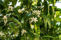 Bittra blommor och frukter för orange träd arkivfoto