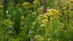 Bittra guld- knappar av Tanacetumvulgareguling blommar busken på längd i fot räknat för vind HD - den örtartade Tansyperennen arkivfilmer