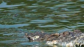 Bitwa aligator w wodzie zdjęcie wideo