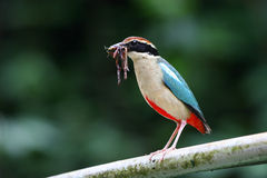 Biue-Winged Pitta. Brood behavior of Biue-Winged Pitta Royalty Free Stock Photos