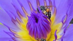 Biuppehällepollen av purpurfärgad lotusblomma lager videofilmer