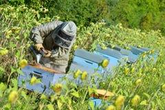 Bivårdaren som arbetar med biet, gå in i kupan i ett solrosfält royaltyfri bild