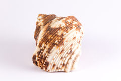 Bivalve with brown blurs. On a white background Royalty Free Stock Photos
