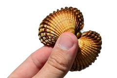 Bivalve clam seashell held in left hand of adult man, white background. Natural sunshine Stock Image